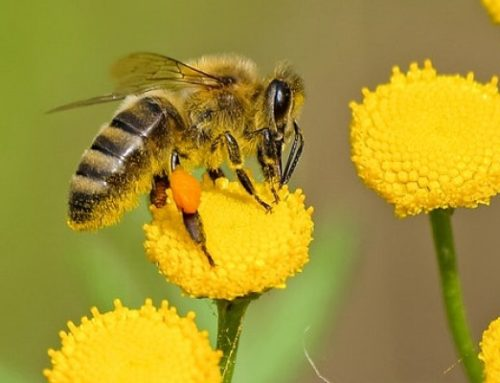 Why Do Bees Die After They Sting?